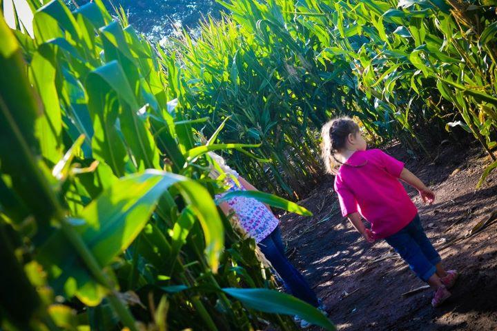 Denver Botanic Gardens Corn Maze At Chatfield But I Want A Pony